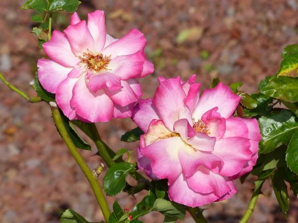 Rosa 'Beauty of Festival'