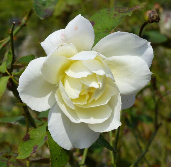 Rosa 'Massabielle'