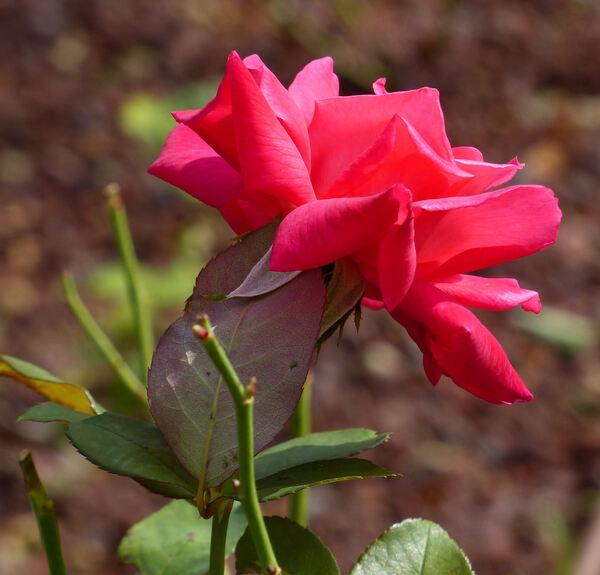 Rosa 'Armonia'