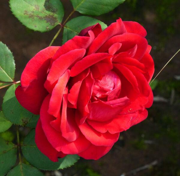 Rosa 'Champs-Elysées ®'