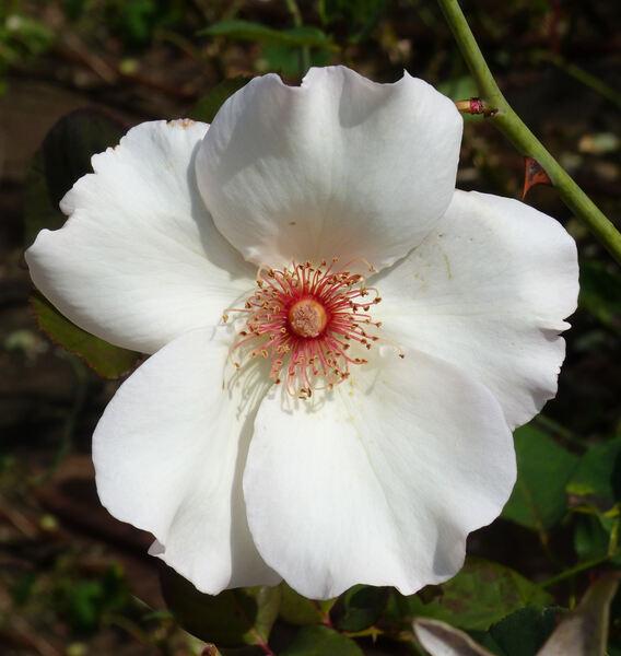 Rosa 'Miss Willmott'