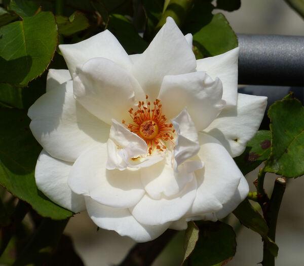 Rosa 'Ophelia, Cl.'
