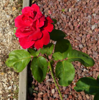 Rosa 'Red Chief'