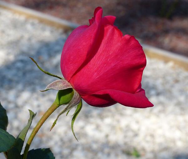 Rosa 'Red Hiroshima'