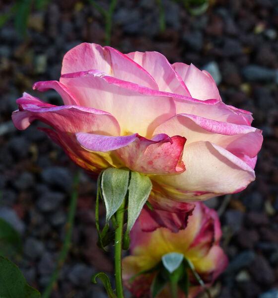 Rosa 'Schönes Eltville'