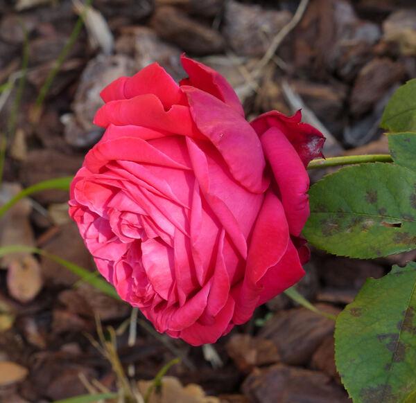 Rosa 'Rosso Giacomasso'