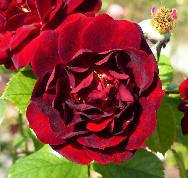 Rosa 'Malicorne ®'