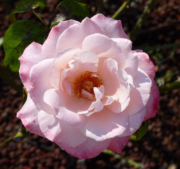 Rosa 'Diletta'