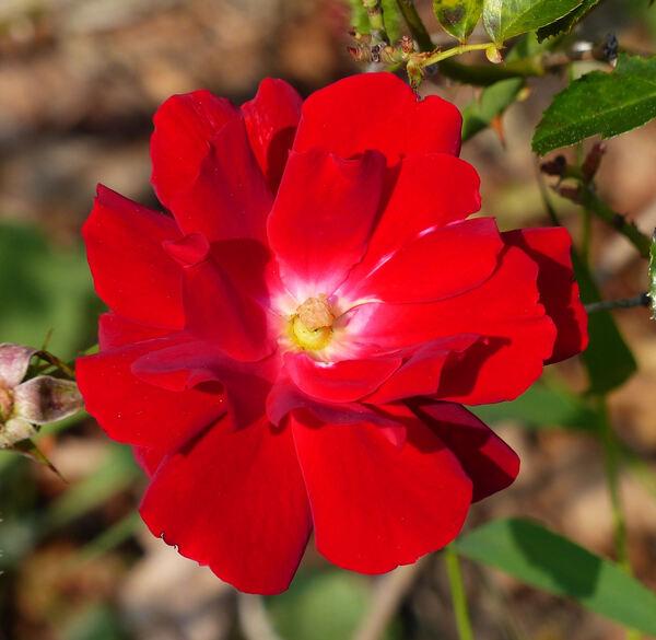 Rosa 'Mainaufeuer ®'