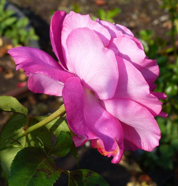 Rosa 'Manou Meilland ®'