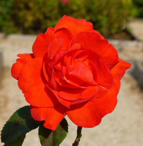 Rosa 'Plein Soleil'