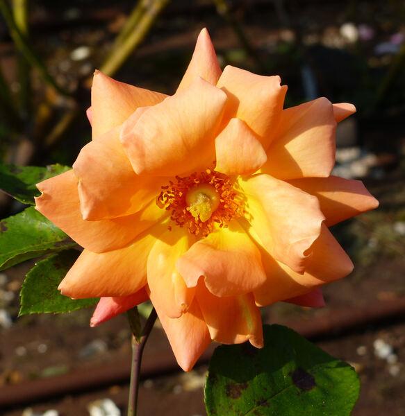 Rosa 'Aberdonian'
