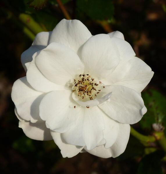 Rosa 'Geschwister Scholl'
