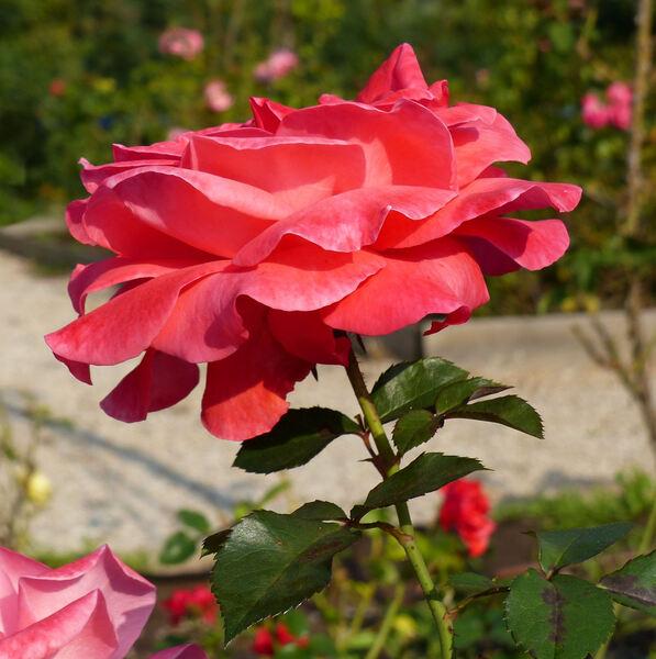 Rosa 'Ludwigshafen am Rhein ®'