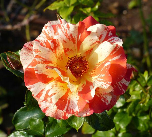 Rosa 'Alfred Sisley ®'