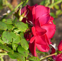 Rosa 'The Prince's Trust'