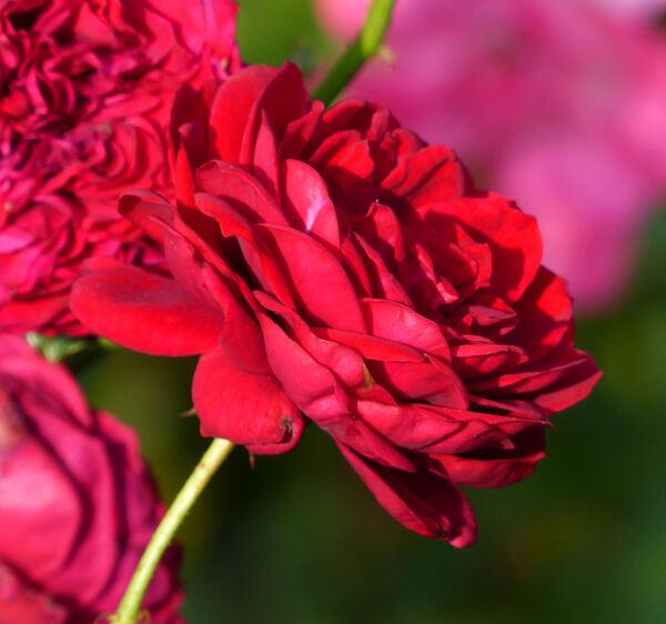 Rosa 'Rotkäppchen'