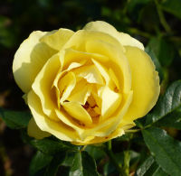 Rosa 'The Brownie Rose ®'