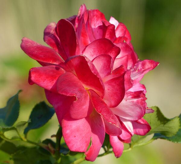 Rosa 'Midsummer ®'