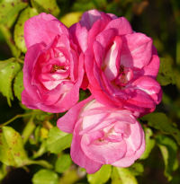 Rosa 'Sunrise Sunset'