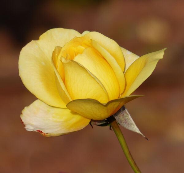 Rosa 'Speelwark ®'