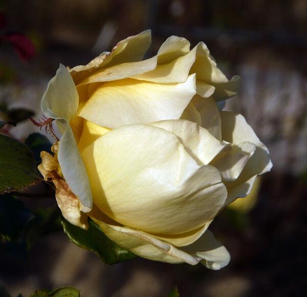 Rosa 'Belle Champenoise'