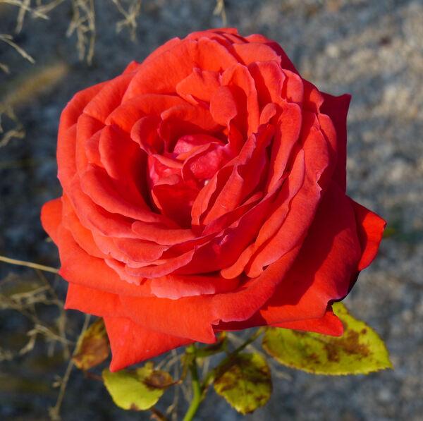 Rosa 'Favorita ™'