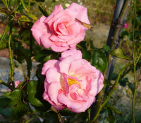 Rosa 'Times Past'