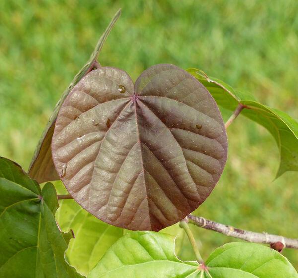 Hibiscus tiliaceus L. 'Roseum'