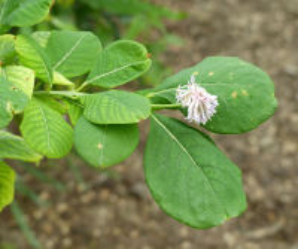 Dais cotinifolia L.