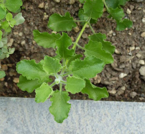 Salvia africana-lutea L.