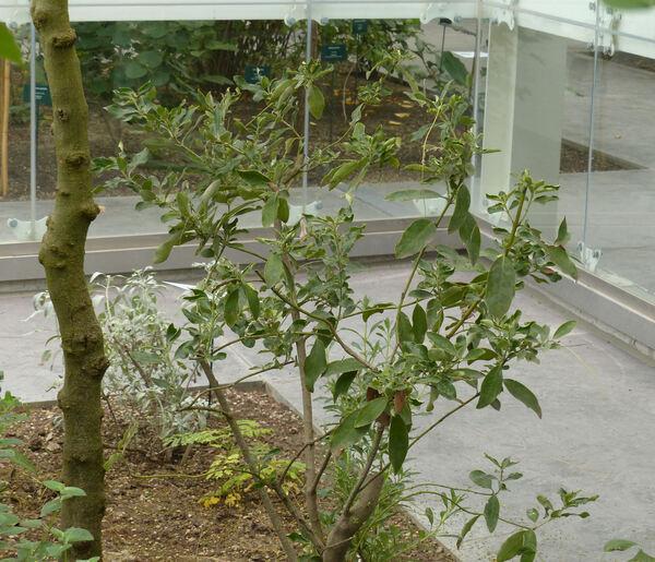 Garrya elliptica Dougl. ex Lindl.