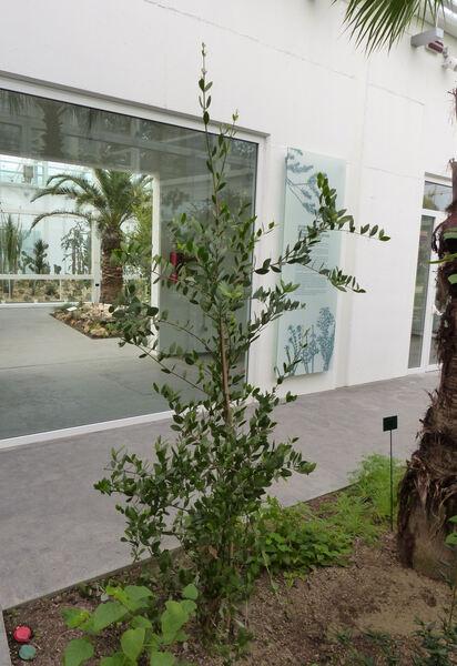 Simmondsia chinensis (Link) C. K. Schneid.