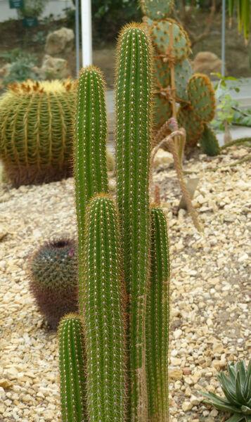 Trichocereus spachianus (Lem.) Riccob.