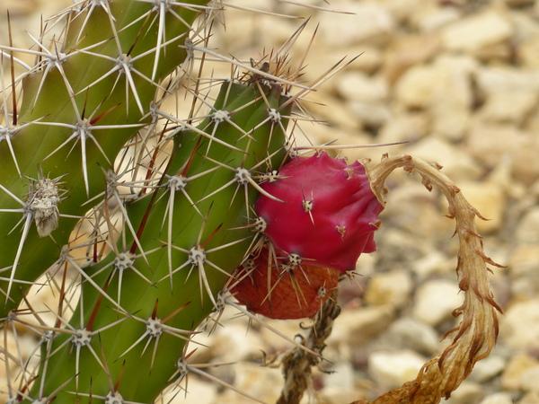 Harrisia tortuosa (J.Forbes ex Otto & A.Dietr.) Britton & Rose