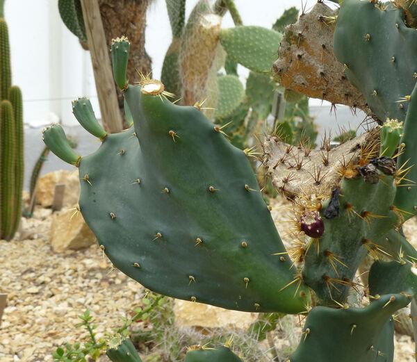 Opuntia anacantha Speg.