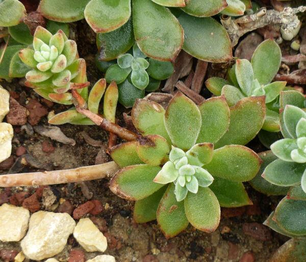 Echeveria pulvinata Rose ex Hook. f.