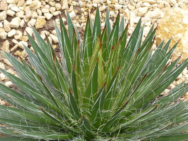 Agave filifera (Salm-Dyck) Baker