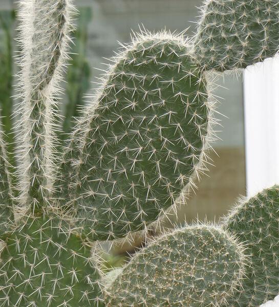Opuntia leucotricha DC.