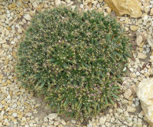 Mammillaria longimamma DC.