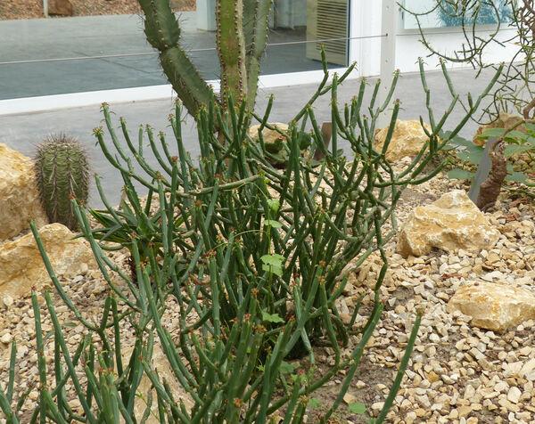 Euphorbia pteroneura A. Berger