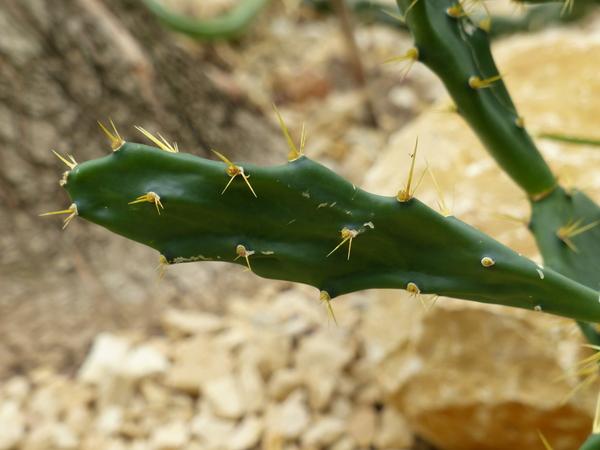 Opuntia sulphurea G.Don