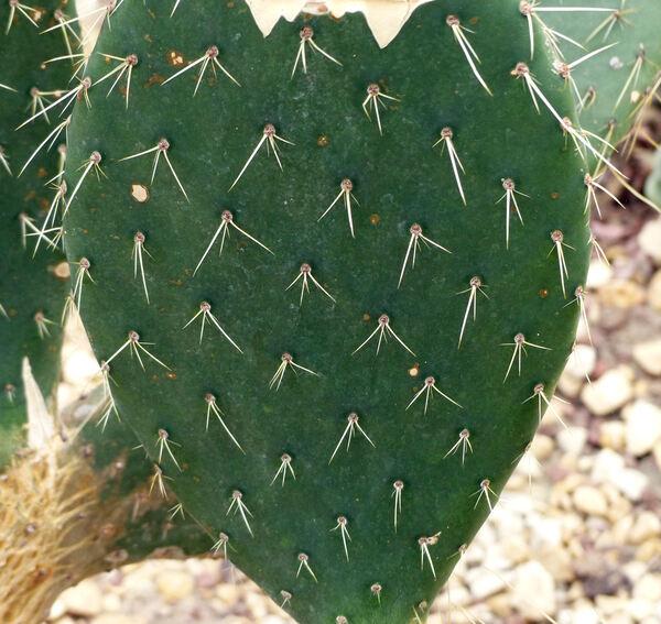 Opuntia intermedia Salm-Dyck
