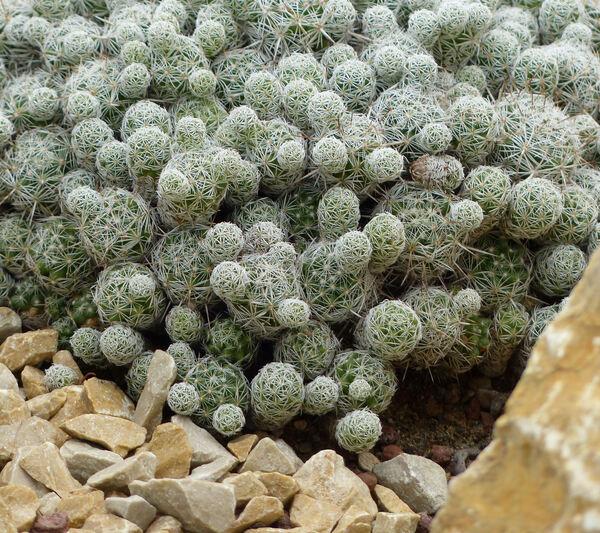 Mammillaria gracilis Salm-Dyck