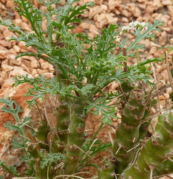 Pelargonium crithmifolium J.E. Sm.
