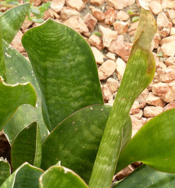 Sansevieria subspicata Baker