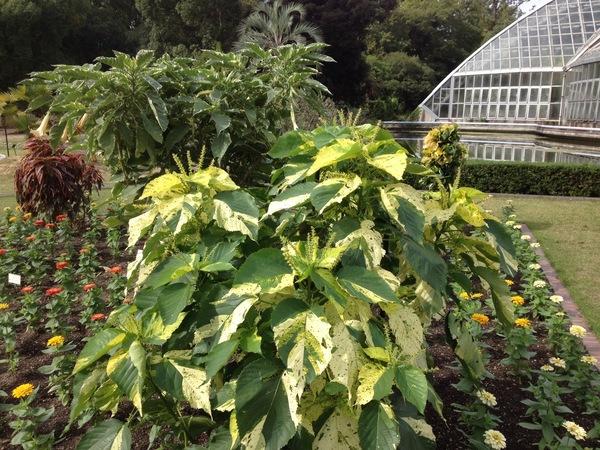 Acalypha wilkesiana Mull.Arg. 'Java White'
