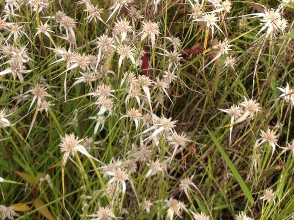 Rhynchospora colorata H. Pfeiff