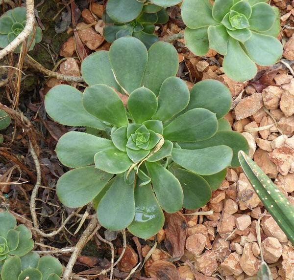 Aeonium gomerense (Praeger) Praeger