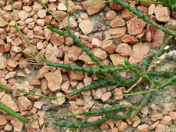 Euphorbia patula Mill.